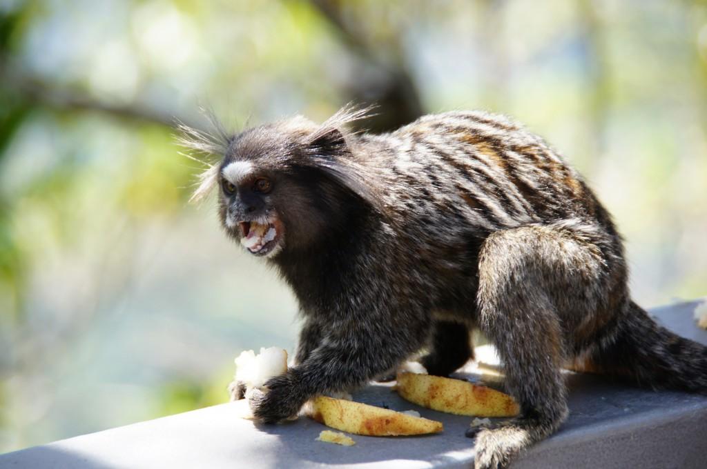 Кушающая обезьянка