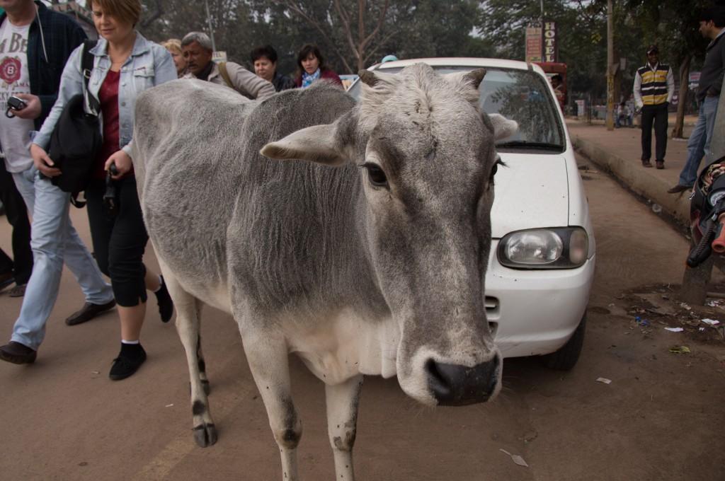 Священное животное, Индия