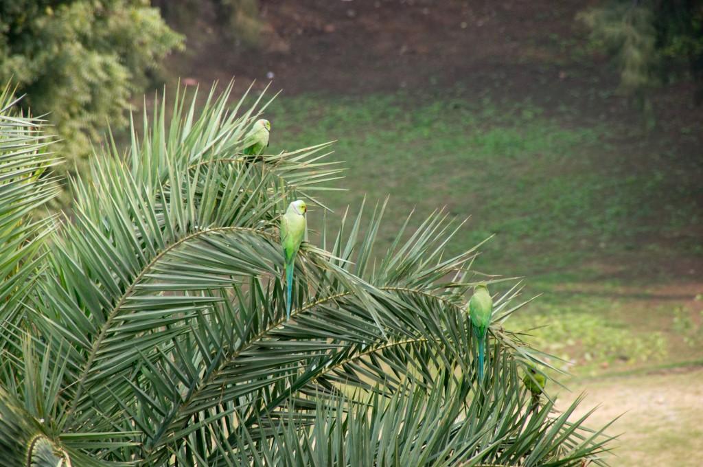 Попугаи везде свободно летают в Индии