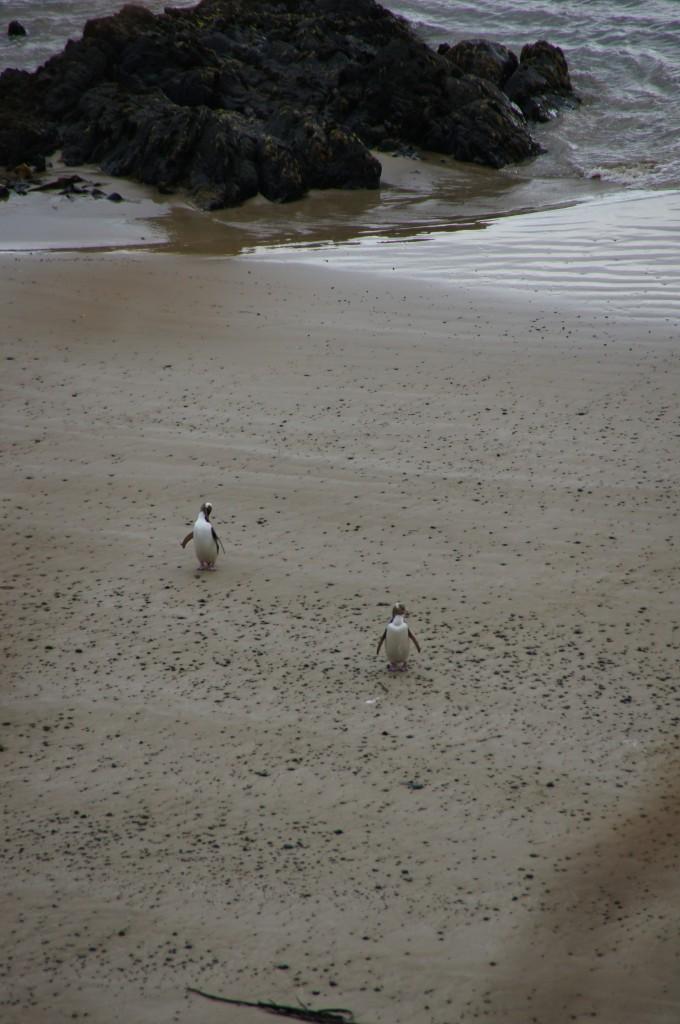 Следим из секретного укрытия за выходом из моря пингвинов на закате в Новой Зеландии.