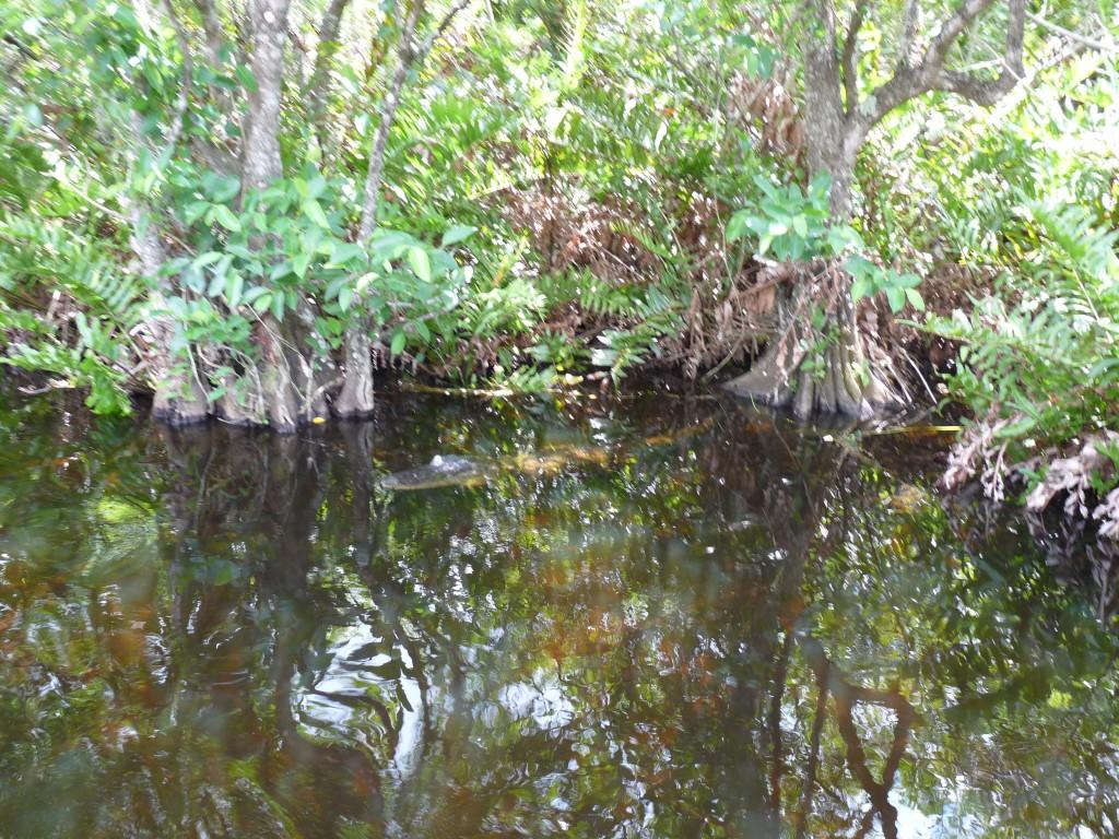 Фото-сафари в парк крокодилов Everglades во Флориде, США.